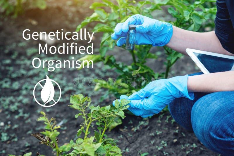 Naukowa genetyczny inżynier bada rośliny dla obecności genetyczna modyfikacja GMO produkty i organizmy obraz stock
