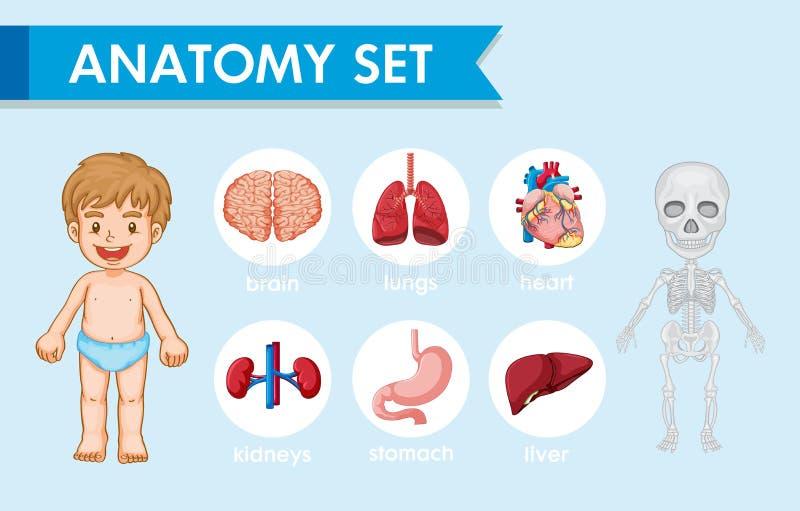 Naukowa medyczna ilustracja ludzka anatomia ilustracja wektor