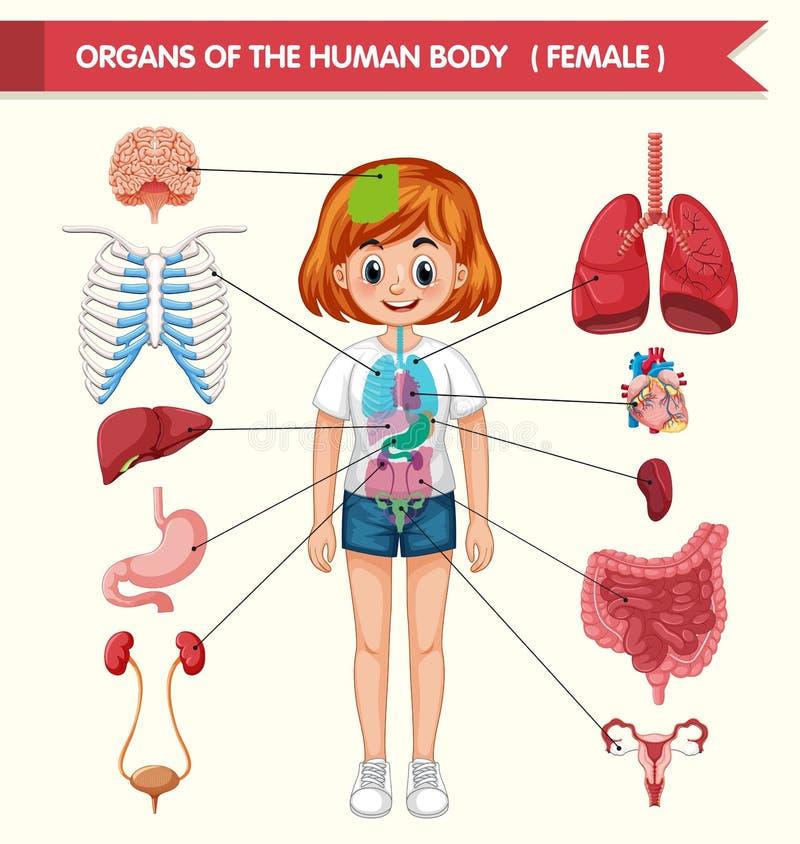 Naukowa medyczna ilustracja organy ciało ludzkie ilustracja wektor