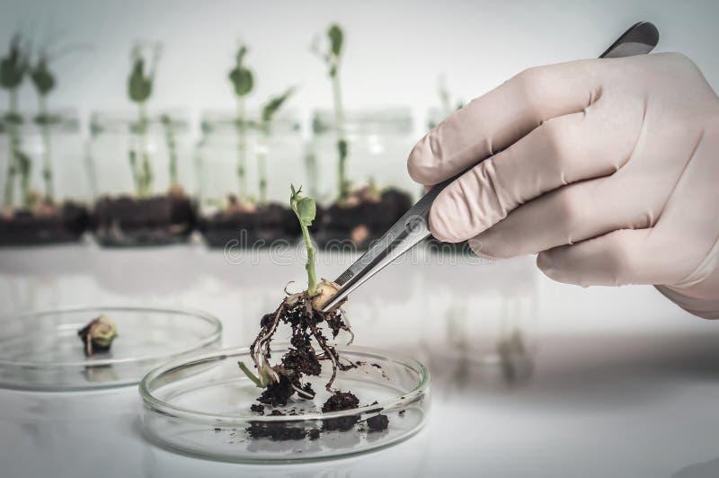 Naukowiec bada gmo ro?liny w biologicznym laboratorium obrazy royalty free