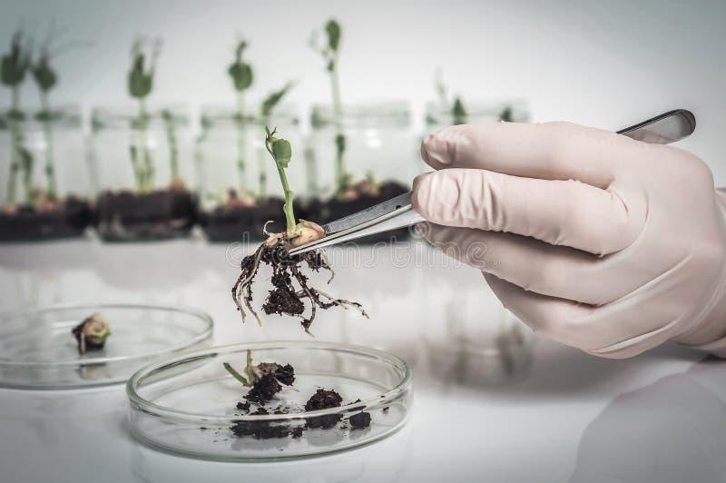 Naukowiec bada gmo ro?liny w biologicznym laboratorium zdjęcie royalty free