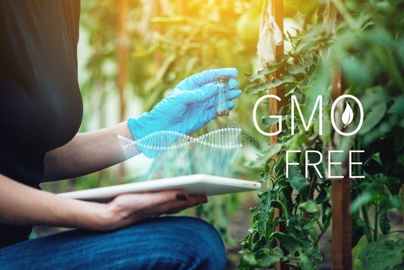 Naukowiec kobieta bada rośliny dla obecności genetyczna modyfikacja bezpłatni organizmy i produkty obrazy stock