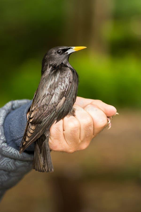 Naukowiec trzyma bez skazy szpaczka Sturnus unicolor w ptaka skrzyknąć, dzwonienia sesji/ obrazy royalty free