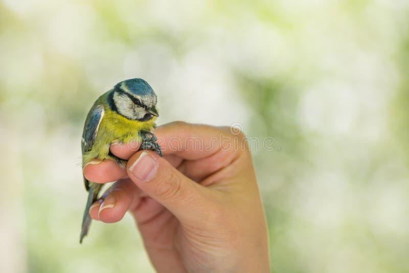 Naukowiec trzyma Eurazjatyckiego błękitnego tit Cyanistes caeruleus w ptaka skrzyknąć, dzwonienia sesji/ fotografia royalty free