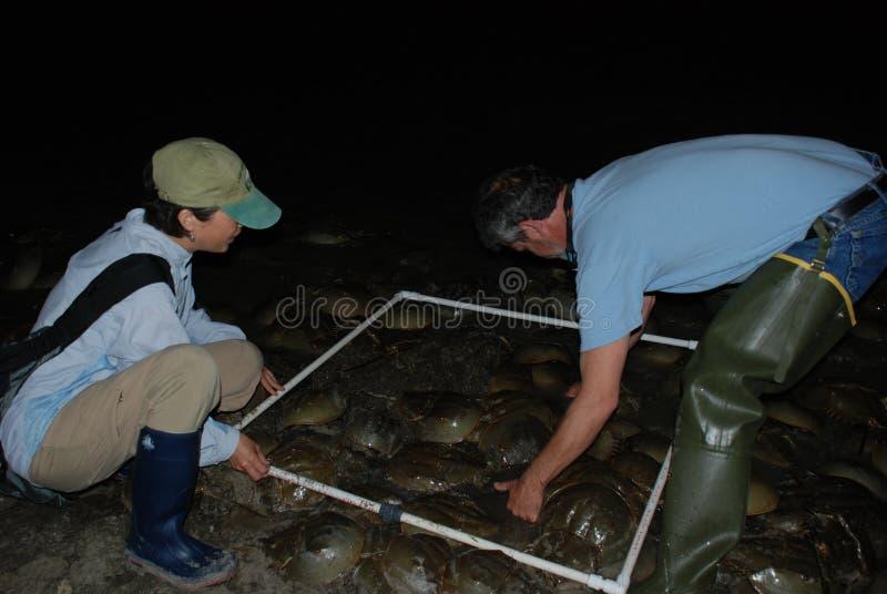 Naukowowie od Delaware podkowy odliczających krabów przy nocą w wodzie na Kitts muldzie Delaware zatoki linia brzegowa zdjęcie royalty free
