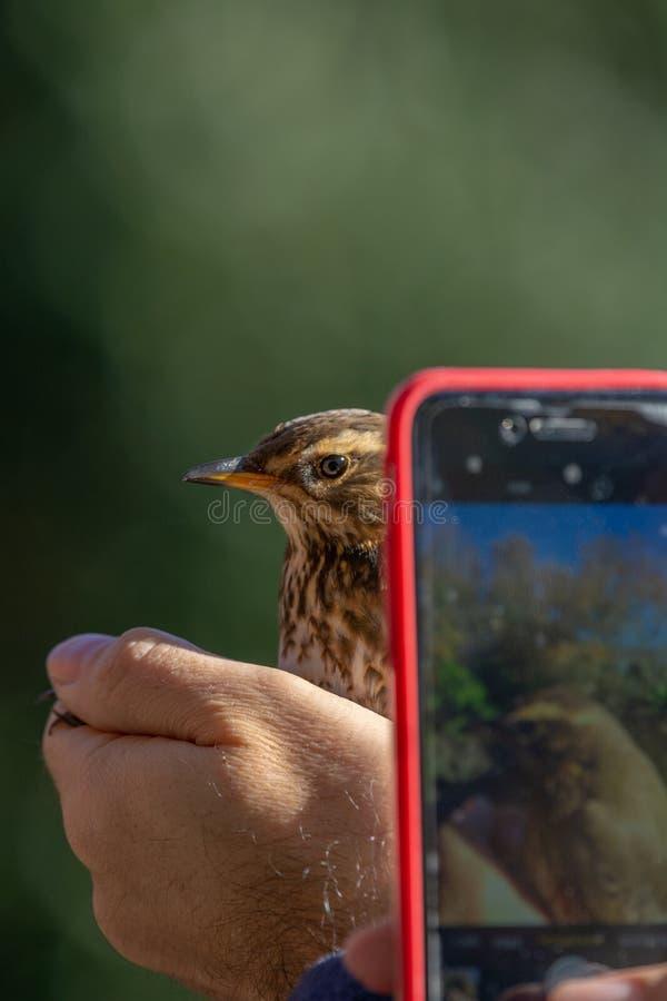 Naukowowie trzyma pieśniowego drozda Turdus philomelos w ptaka skrzyknąć, dzwonienia sesji/, podczas gdy osoba brał fotografie fotografia stock