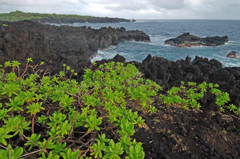 Naupaka, das auf vulkanischem Felsen wächst, stockbilder