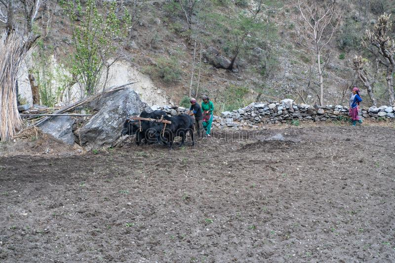 Naurikot/Nepal-11.03.2019:People plow the earth by cow. The photo was taken during my one year trip around Asia royalty free stock photography