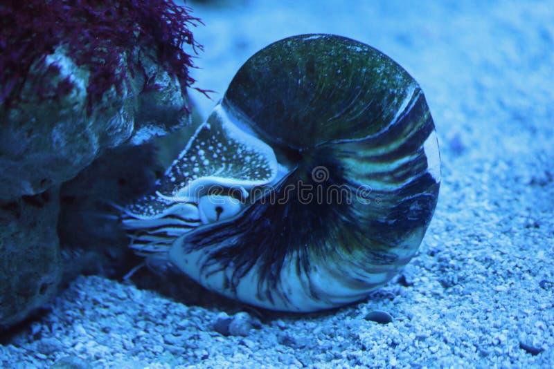 Nautilidae di nautilus immagini stock