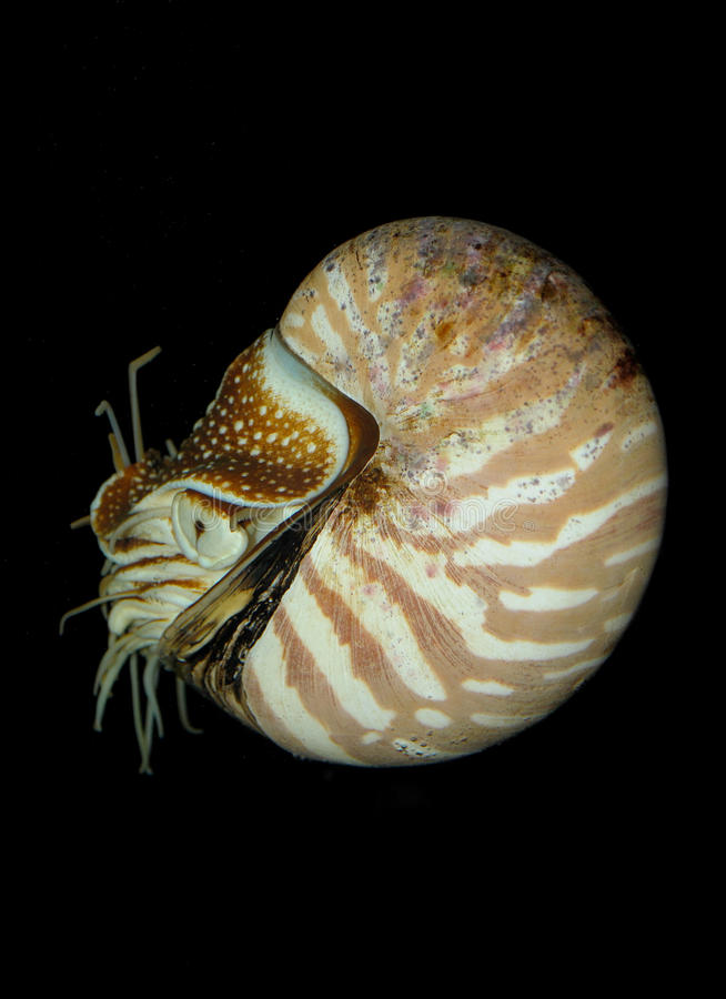Nautilus на темноте стоковые фотографии rf