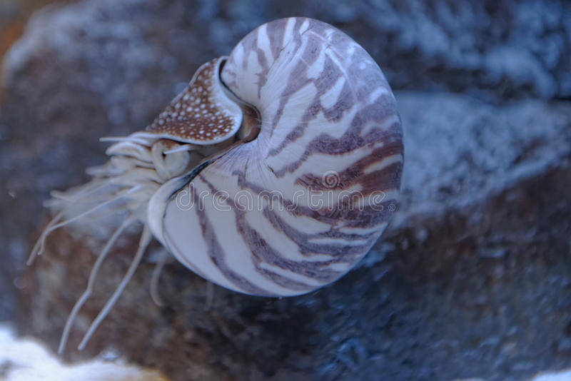 Nautilus стоковое фото