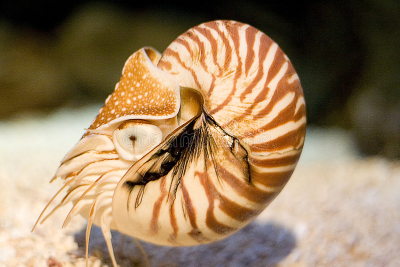 Nautilus fotos de archivo libres de regalías