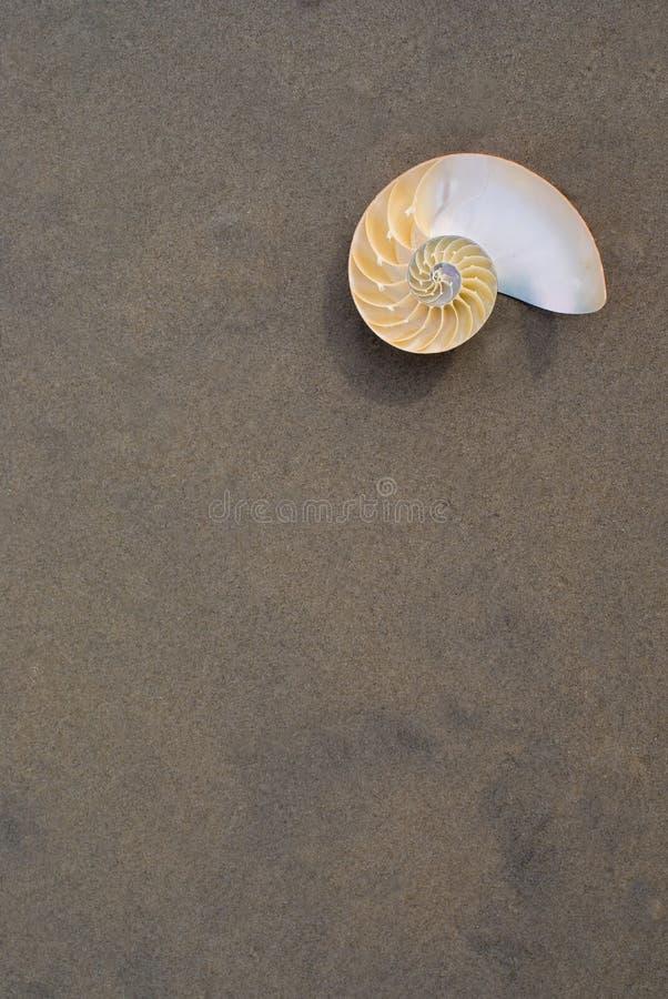 Nautilus del Bellybutton (macromphalus del Nautilus) immagine stock