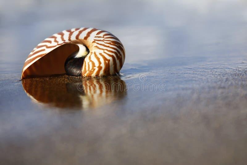 Nautilus della spiaggia fotografia stock libera da diritti