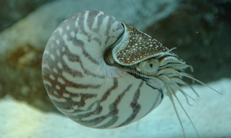 Nautilus en agua foto de archivo