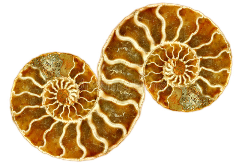 Nautilus fóssil simétrico no fundo branco fotografia de stock