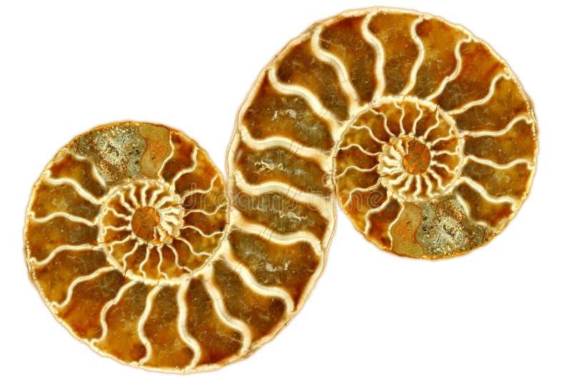 Nautilus fossile simmetrico su priorità bassa bianca fotografia stock