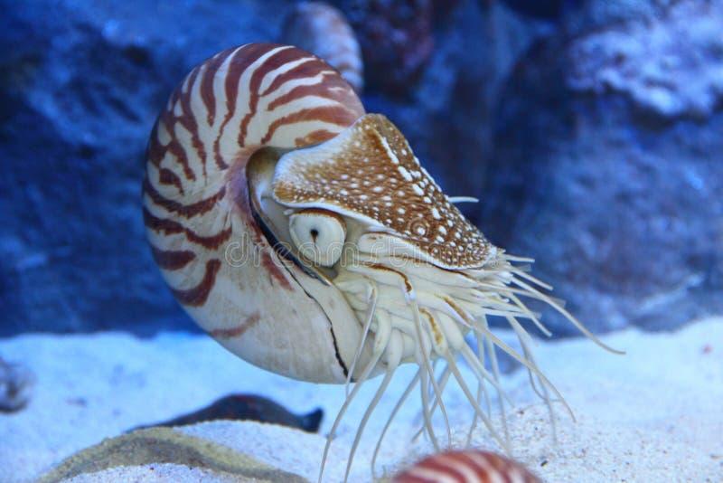 Nautilus mit entfalteten Tentakeln stockfotos