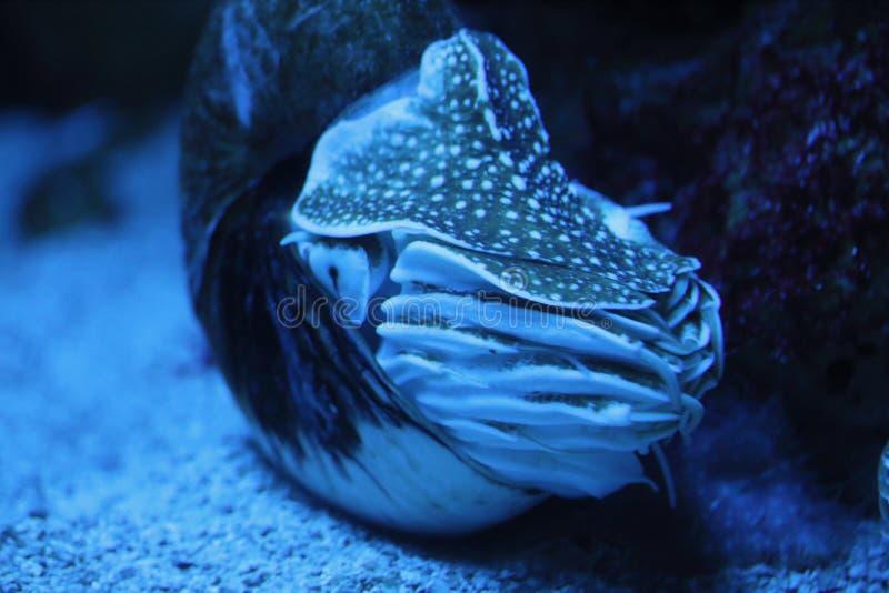 Nautilus Nautilidae stock foto's