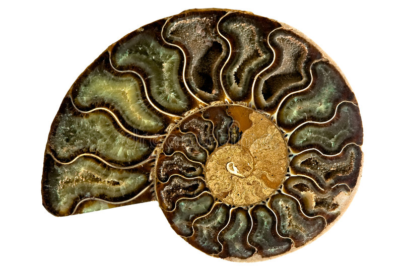 Download Nautilus Shell stock image. Image of fossil, isolated - 4950071