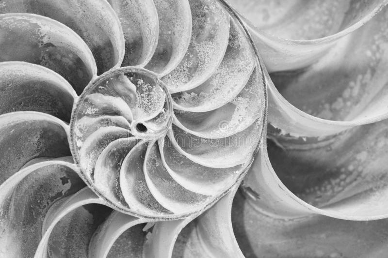 Cross section of a Nautilus shell in black and white royalty free stock photo