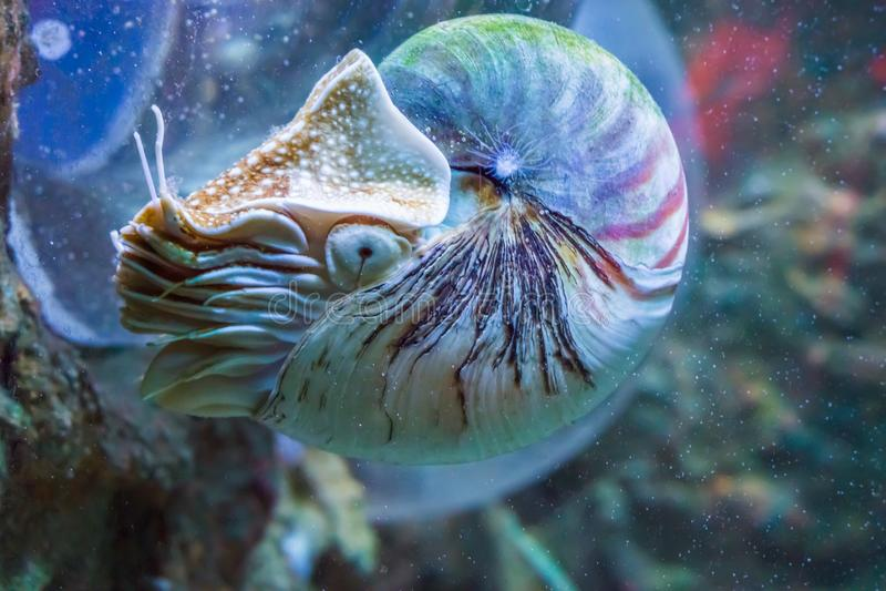 Nautiluspijlinktvis een zeldzaam en mooi het leven shell fossiel onderwater overzees dier royalty-vrije stock foto