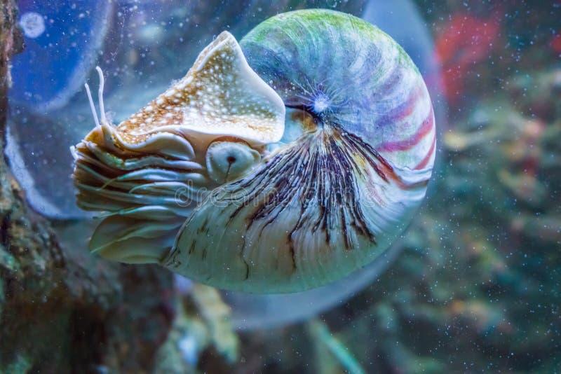 Nautilustioarmad bläckfisk ett fossil- undervattens- havsdjur för sällsynt och härligt bosatt skal royaltyfri foto