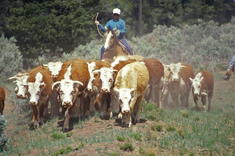 Navajo cowboys herding cattle on cattle drive, , AZ stock photos