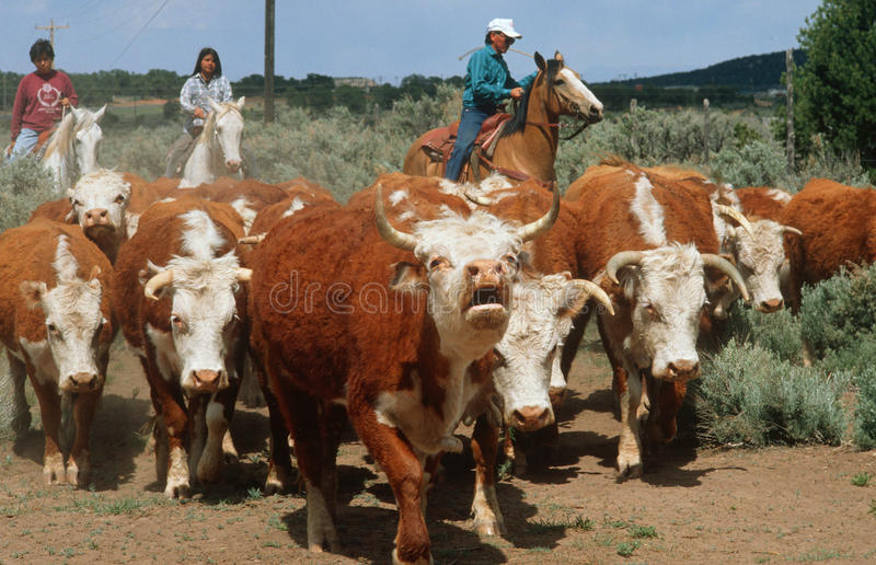 Navajo family herding cattle. Navajo family on horseback rounding up herd of cattle, AZ royalty free stock images