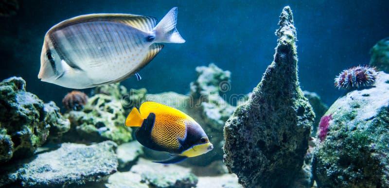 Navarchus do Pomacanthus, esquatina majestosa, natação dos peixes no fotos de stock royalty free