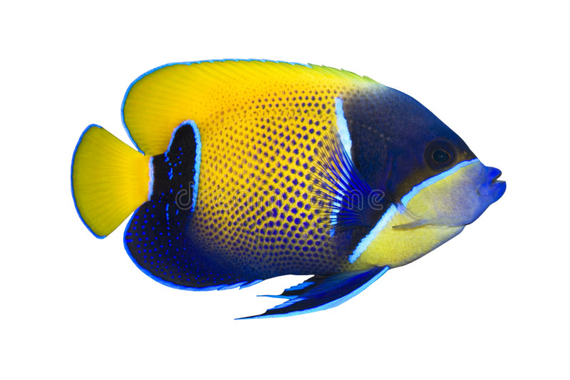 navarchus pomacanthus ryby tropikalne obraz royalty free