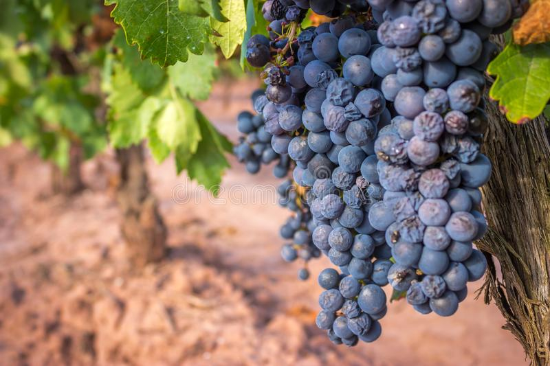 Navarrette, Spain - Ripe Wine Grapes on a Vine Growing in Red Soil of the Rioja Region royalty free stock image