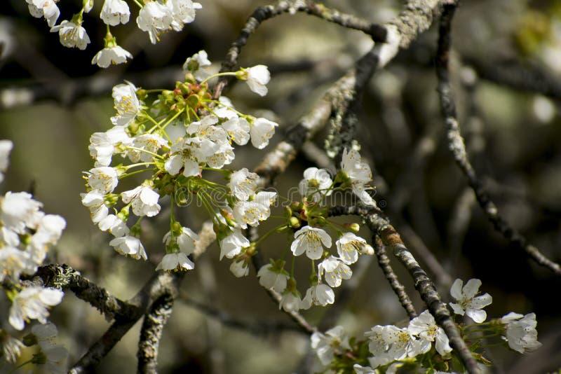nave Flores de árvores de fruto Flor fotografia de stock royalty free
