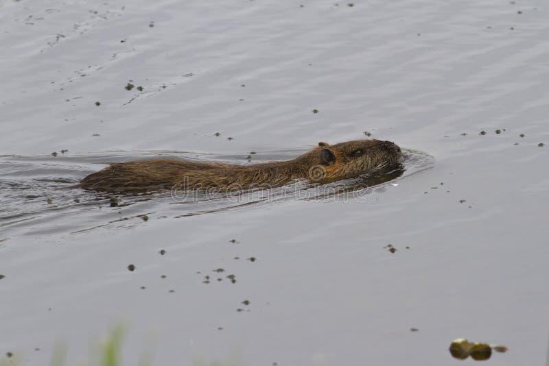 Download Navegación Del Coypu En Un Pequeño Lago Foto de archivo - Imagen de primer, mamífero: 41905614