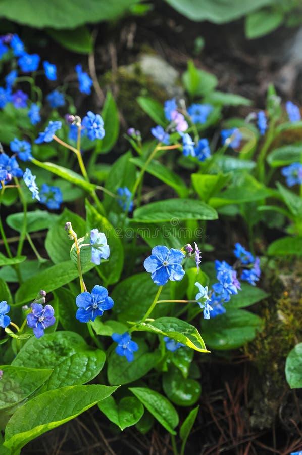 Navelwort di strisciamento di nomi di verna di Omphalodes o blu-osservare-Maria comune, primo piano fotografie stock libere da diritti