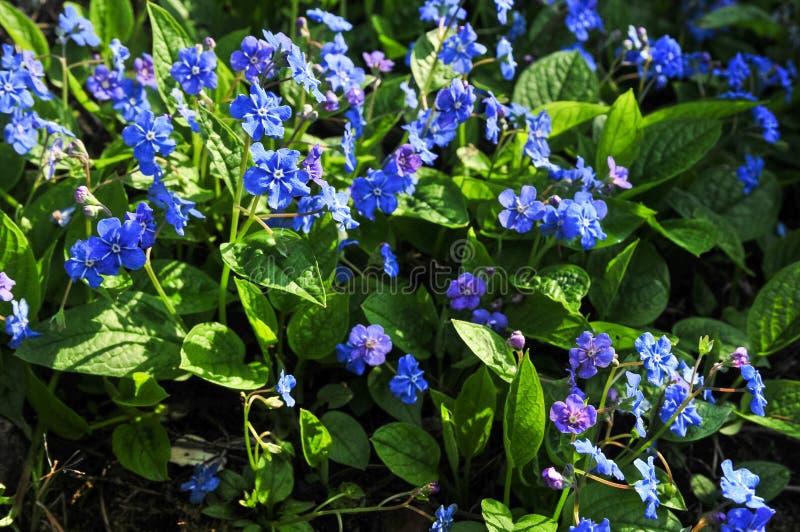 Navelwort o blu-osservare-Maria comune di strisciamento di nomi di verna di Omphalodes fotografia stock libera da diritti