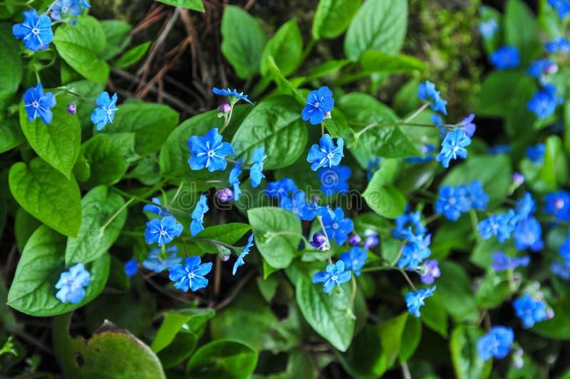 Navelwort o blu-osservare-Maria comune di strisciamento di nomi di verna di Omphalodes fotografia stock