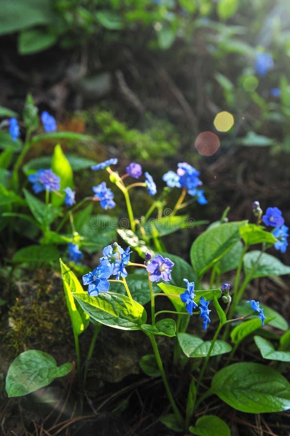Navelwort o blu-osservare-Maria comune di strisciamento di nomi di verna di Omphalodes con il chiarore immagine stock libera da diritti