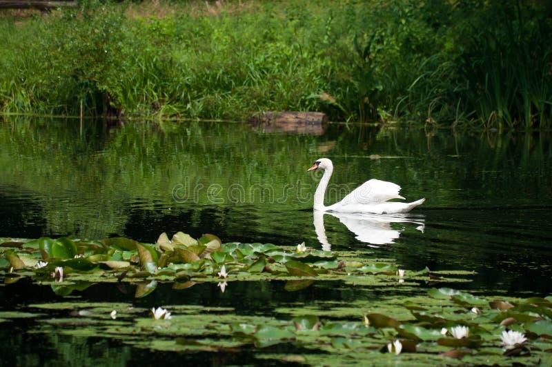 Navigazione del cigno sul lago in una foresta immagini stock