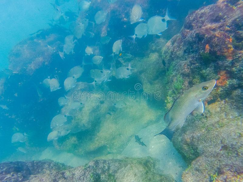 Naviguer au schnorchel à un récif coralien photos stock