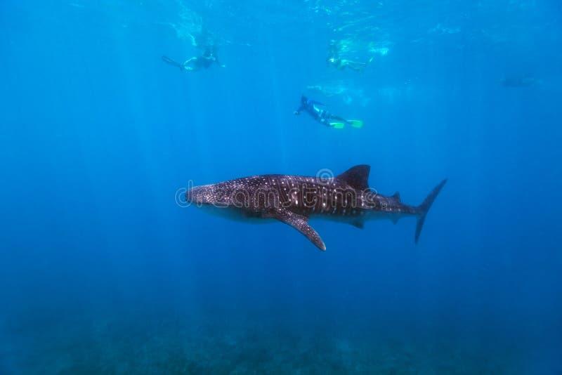 Naviguer au schnorchel avec un requin de baleine photo stock