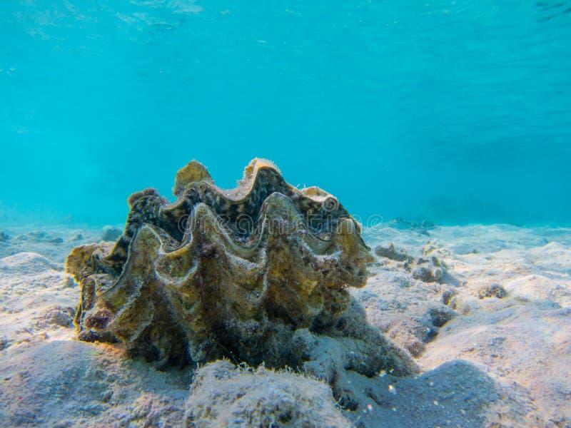 Naviguer au schnorchel sous-marin de la Mer Rouge de coquille de mer photo stock