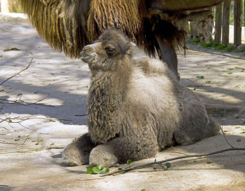 Navio do camelo bactriano do ruminante do artiodactyl do camelo do deserto imagem de stock