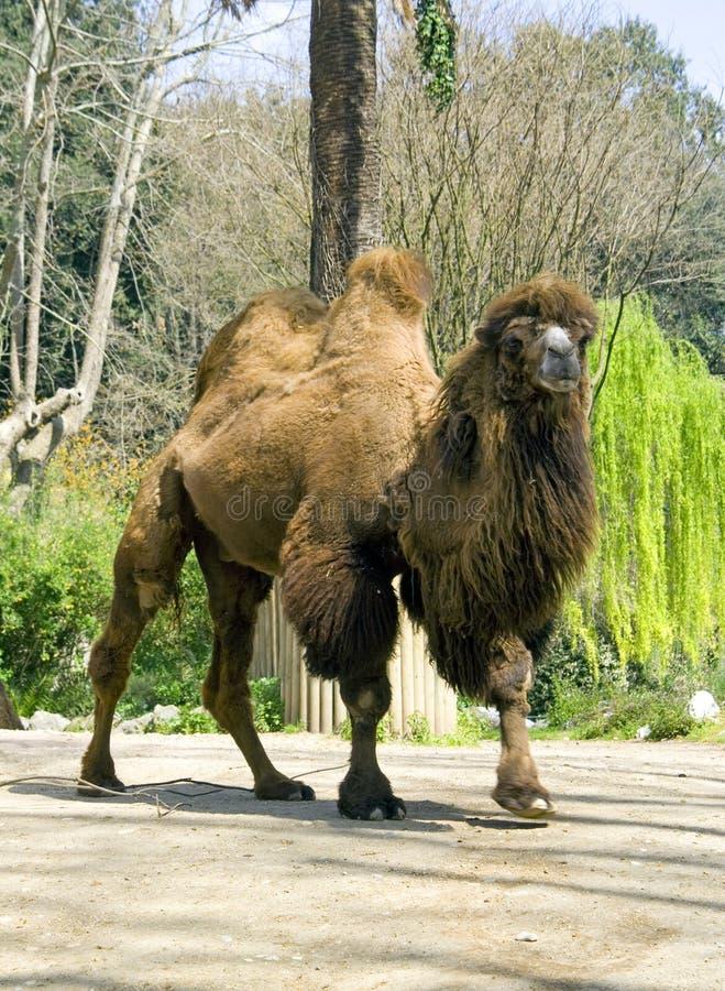 Navio do camelo bactriano do ruminante do artiodactyl do camelo do deserto fotografia de stock royalty free