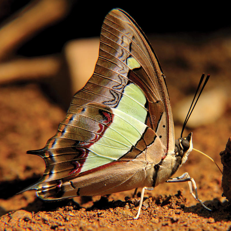 Nawab butterfly royalty free stock photos