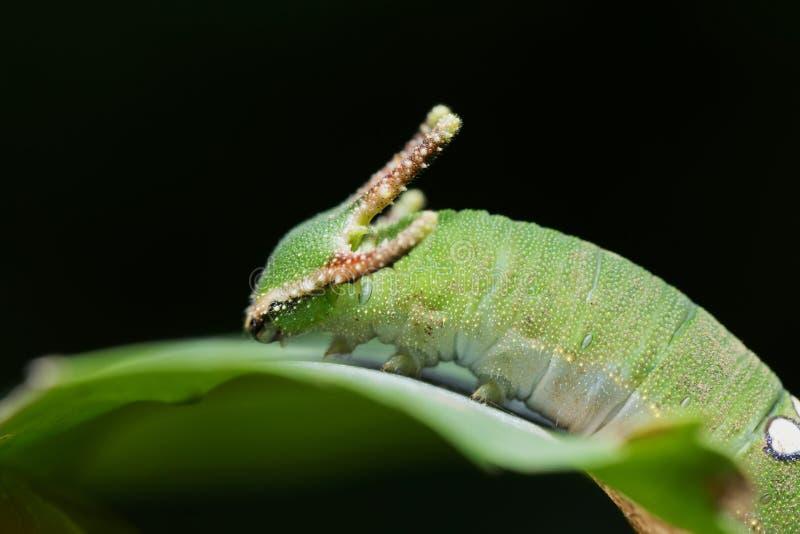Nawab Catterpillar蝴蝶 免版税图库摄影