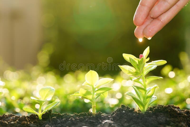 Nawadniać małych drzewa z kroplą pod rękami obraz stock