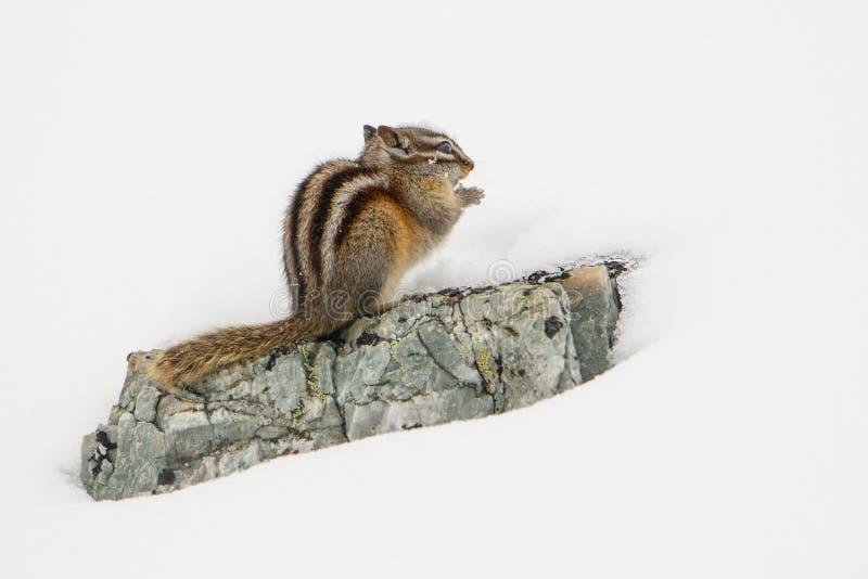 Nawet Chipmunk może mówić - zima przychodzi fotografia royalty free