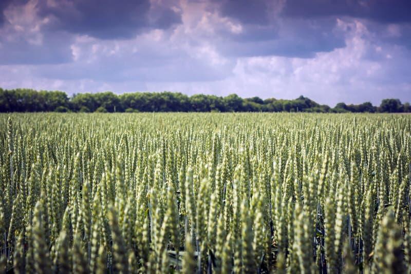 Nawet pole spikelets banatka przeciw niebu Doskonalić rośliny podobieństwo fotografia stock