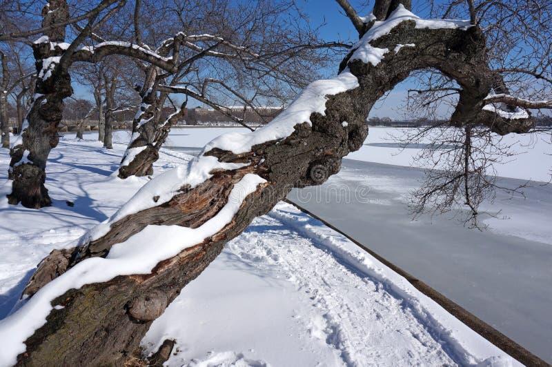 Nawisły Czereśniowego okwitnięcia drzewo w zimie obrazy stock